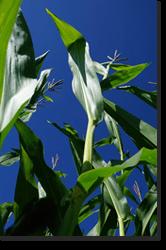 omg - coltivazione di grano